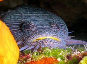 Sanopus splendidus